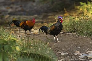 Green Junglefowl and Red Junglefowl - Meru Bethiri - East Java MG 6597 (29809208915).jpg