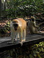 Green Monkey in Barbados 07.jpg