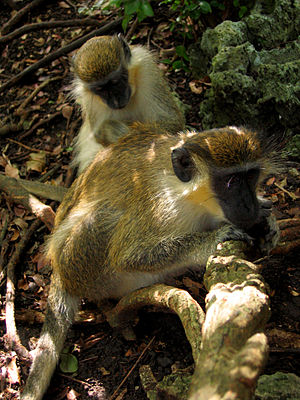 Green Monkeys (Chlorocebus sabaeus or Chloroce...
