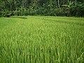 Green Rice among the immediate environment - panoramio.jpg