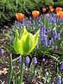 Green Tulip (70694829).jpeg
