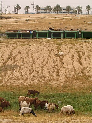 Negev Bedouin - Goats grazing in the township of Tel Sheva