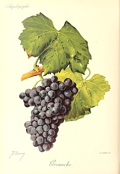 Grenache red wine grape