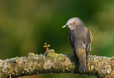 Grey-headed myna Sturnia malabarica.jpg