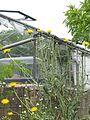 Grindelia chiloensis - Flickr - peganum (2).jpg