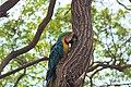 Guacamayo subiendo en árbol.jpg