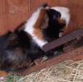 Guinea pig climbing stairs.png