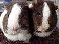 Guinea pigs 9.jpg