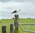Gull 2 (11900324594).jpg