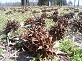 Gum tree seed.jpg
