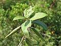 Gymnema sylvestre fruits at Agumbe (6).jpg