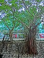 HK Sheung Wan Hollywood Road Stonewall green Banyan trees Mar-2013.JPG