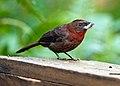 Habia fuscicauda -near Rancho Naturalista, Cordillera de Talamanca, Costa Rica -male-8.jpg