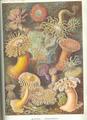 Haeckel Actiniae.png