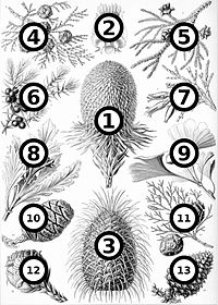 Haeckel Coniferae big spots.jpg