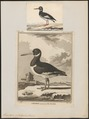 Haematopus ostralegus - 1700-1880 - Print - Iconographia Zoologica - Special Collections University of Amsterdam - UBA01 IZ17300007.tif
