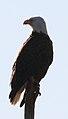 Haliaeetus leucocephalus (Bald Eagle) 03.jpg