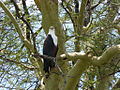 Haliaeetus vocifer -Malawi -perching in tree-8.jpg