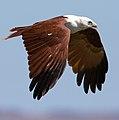 Haliastur indus -Karratha, Pilbara, Western Australia, Australia -flying-8 (15).jpg