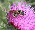 Halictus scabiosae (female) - Flickr - S. Rae.jpg