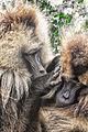 Happy to Help, Gelada Baboons, Ethiopia (7082973023).jpg