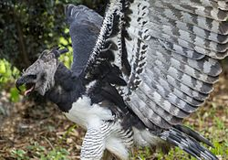Harpy Eagle with wings lifted.jpg