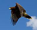 Harris Hawk 1c (6797995298).jpg