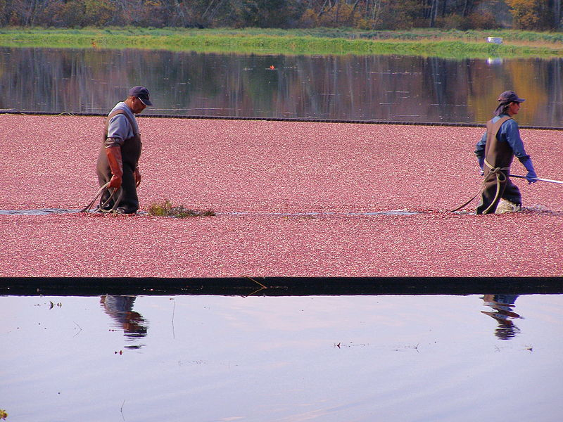 Cranberry harvest near Buzzards Bay, Massachusetts