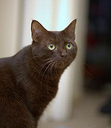 Википедия породы котов