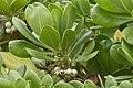 Hawaii plants Kona 2012-12-04 at 16-22-52.jpg