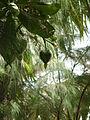 Heart-Shaped Coconut (4042646716).jpg