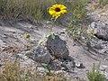 Helianthus annuus (4031378577).jpg