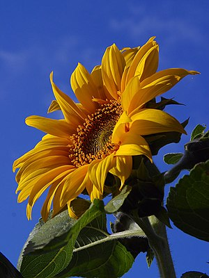 Pollination syndrome - Sunflower pollinated by butterflies and bees