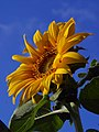 Helianthus annuus exposed 2004-05-22.jpg
