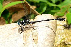 Heliogomphus promelas - Shenduruni Wildlife Sanctuary - 2014.jpg