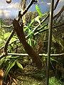 Henkel's Leaf Tailed Gecko, Jacksonville Zoo.jpg
