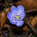 Hepatica nobilis 20140222.jpg