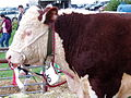 Hereford Bull at Great British Agricultural Show.jpg