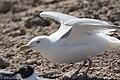Herring Gull Brownsville TX 2018-03-21 14-16-43-2 (40083015765).jpg