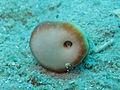 Heteropsammia cochlea con Aspidosiphon muelleri.jpeg