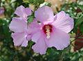 Hibiscus syriacus 2009.jpg