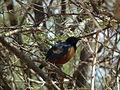 Hildebrandt's Starling in Tanzania 2912 Nevit.jpg