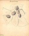 Hindbær - Baumfords Seedling (9247295494).jpg