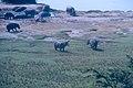 Hippopotamus Rwindi 18.jpg