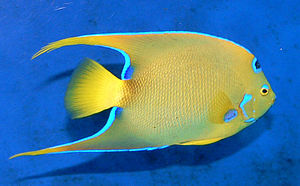 Coral reef fish - Many reef fish, like this queen angelfish, have a body flattened like a pancake, with pectoral and pelvic fins that act with the flattened body to maximize manoeuvrability.