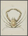 Homola spinifrons - - Print - Iconographia Zoologica - Special Collections University of Amsterdam - UBAINV0274 095 24 0003.tif