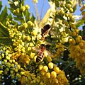 Honey bees, Sandy, Bedfordshire (11157282595).jpg