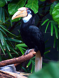 Fauna of new guinea wikipedia a papuan hornbill rhyticeros plicatus the only species of hornbill native to new guinea sciox Images