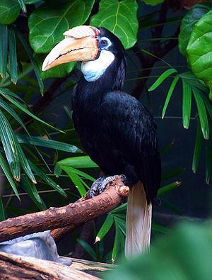 Blyth's hornbill - Female