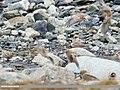 Horned Lark (Eremophila alpestris) (45996046725).jpg